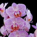Розовые орхидеи на черной предпосылке стоковые изображения rf