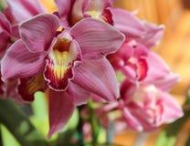 Розовые орхидеи Стоковые Изображения