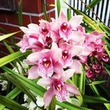 Розовые орхидеи Стоковые Изображения RF