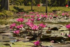 Розовые лотосы в пруде стоковая фотография rf