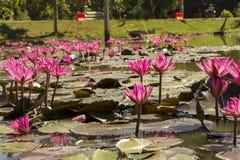 Розовые лотосы в пруде стоковые фотографии rf