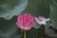 Розовые лотос или waterlily цветение и листья в озере Стоковое Фото