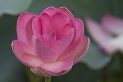Розовые лотос или waterlily цветение и листья в озере Стоковые Фото