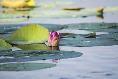 Розовые лотос или waterlily цветение и листья в озере Стоковое фото RF