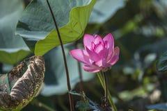 Розовые лотос или waterlily цветение и листья в озере Стоковое Изображение