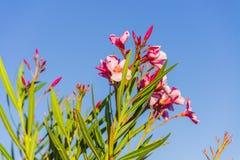 Розовые олеандры в Сардинии Италии Стоковое Изображение