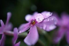 Розовые падения цветка стоковое изображение rf