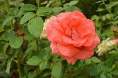 Розовые падения росы Стоковое Изображение