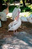 Розовые пеликаны в тени деревьев в зоопарке стоковые фотографии rf