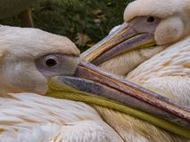 Розовые пеликаны соединяют стоковое изображение rf