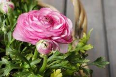 Розовые персидские цветки лютика. Стоковые Изображения RF