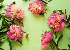 Розовые пионы на зеленой предпосылке Стоковые Изображения RF