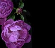 Розовые пионы на черной предпосылке Стоковые Фотографии RF