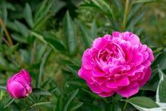 Розовые пионы Стоковая Фотография RF