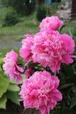 Розовые пионы Стоковое Изображение RF