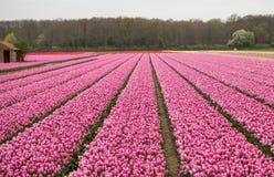 Розовые поля Bollenstreek, южная Голландия тюльпанов, Стоковое фото RF