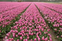 Розовые поля Bollenstreek, южная Голландия тюльпанов Стоковые Фото