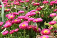 Розовые помосты в саде Глазго ботаническом Стоковые Фото