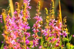 Розовые полевые цветки болота на заходе солнца в временени Стоковое Изображение RF