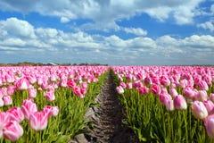 Розовые поля тюльпана в sprind Стоковое фото RF