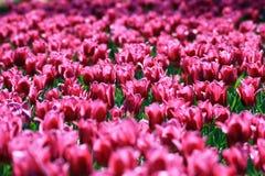 розовые прозрачные тюльпаны Стоковая Фотография RF