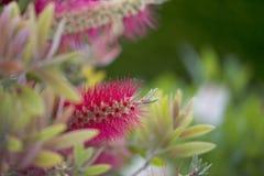 Розовые пушистые цветки Стоковые Изображения RF
