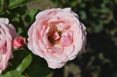 Розовые пчелы whit Стоковая Фотография RF