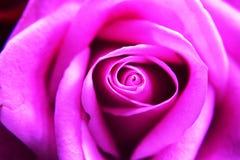Розовые розовые цветеня Стоковые Фото