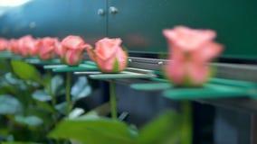 Розовые розы будучи сортированным на фабрике цветка акции видеоматериалы