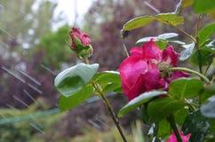 Розовые розы влажные в дожде Стоковое Фото