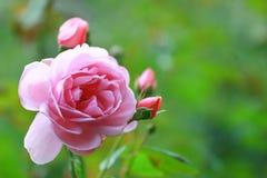 Розовые розы в саде Стоковые Изображения RF
