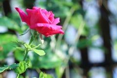 Розовые розы в саде Стоковое Изображение RF