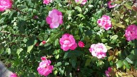 Розовые розы в саде Стоковые Фотографии RF
