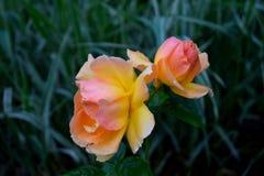 Розовые розы в сумерк Стоковое Фото