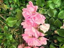 Розовые розы зацветая в саде Стоковые Изображения