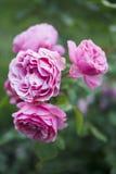 Розовые розы зацветая в саде Стоковое Фото