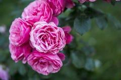 Розовые розы зацветая в саде Стоковое фото RF