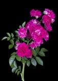 Розовые розы изолированные на черноте Стоковые Изображения