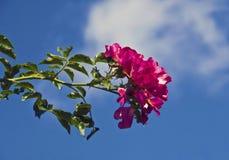 Розовые розы, и голубое небо и облако стоковые изображения rf
