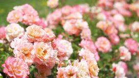 Розовые розы и зеленые кусты в саде сток-видео