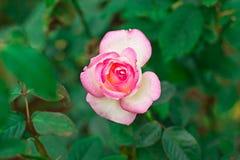 Розовые розы красивые и душистые цветки Стоковые Фото