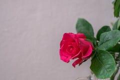 Розовые розы на белой предпосылке стены Стоковое Изображение RF