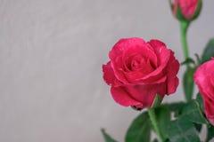 Розовые розы на белой предпосылке стены Стоковая Фотография