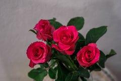 Розовые розы на белой предпосылке стены Стоковое Изображение