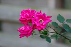 розовые розы одичалые стоковые изображения