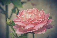 Розовые розы предпосылка, малая глубина поля Ретро ins года сбора винограда Стоковое Изображение