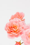 Розовые розы сада закрывают вверх Стоковые Фото
