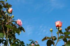 Розовые розы с космосом экземпляра Стоковое Изображение RF