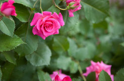 Розовые розы с космосом экземпляра Стоковые Изображения RF