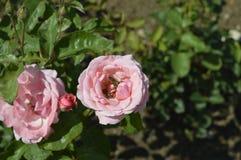 Розовые розы с пчелами Стоковые Фотографии RF